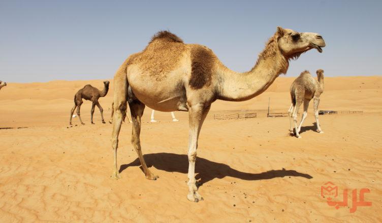 مراحل نمو الجمل دورة حياة الجمل عرب بوكس