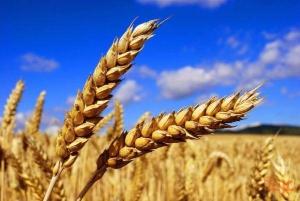 القمح في المنام