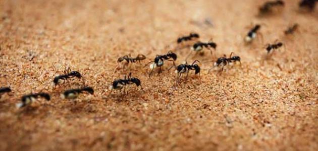 النمل في المنام